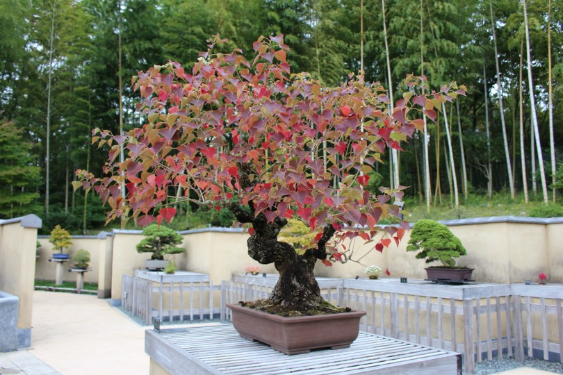 Chinese tallow tree - 80 anos
