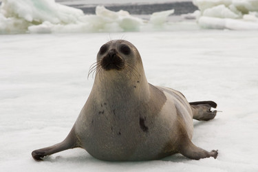 Opinions on Earless seal
