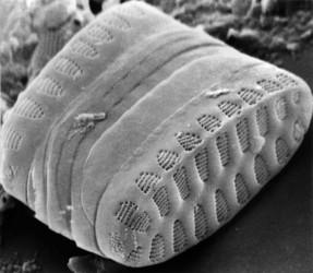 clade II araphid pennate diatoms