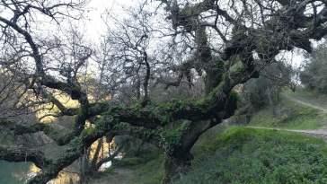 carvalho quercus pedreira IMG 20200111 150514