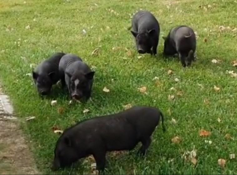 porcos vietnamitas 789