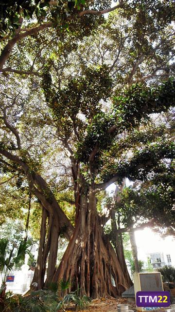 Ficus (II)