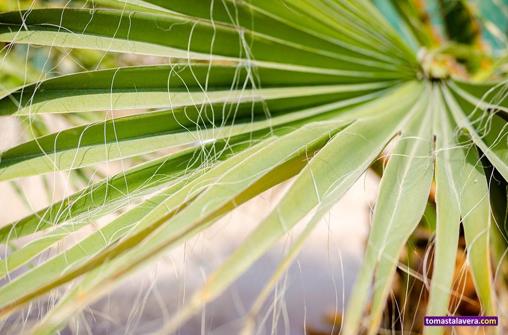 Hoja de Washingtonia filifera