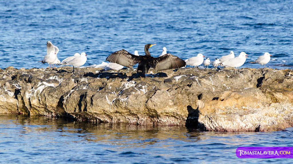 phalacrocorax-cormoran-gaviotas