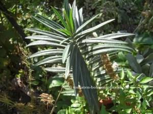 Euphorbia lathyris, Wühlmaus-Schreck Wühlmaus Samen
