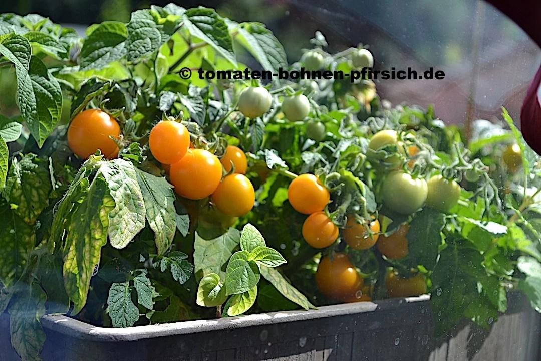 micro tom samen rarit ten versand tomaten bohnen. Black Bedroom Furniture Sets. Home Design Ideas
