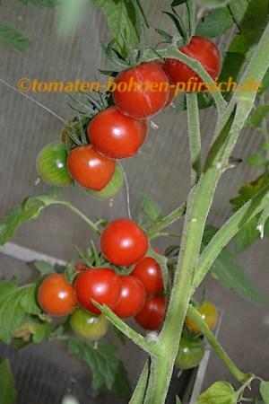 Friesje alte Norddeutsche Tomatensorte rote Cherry