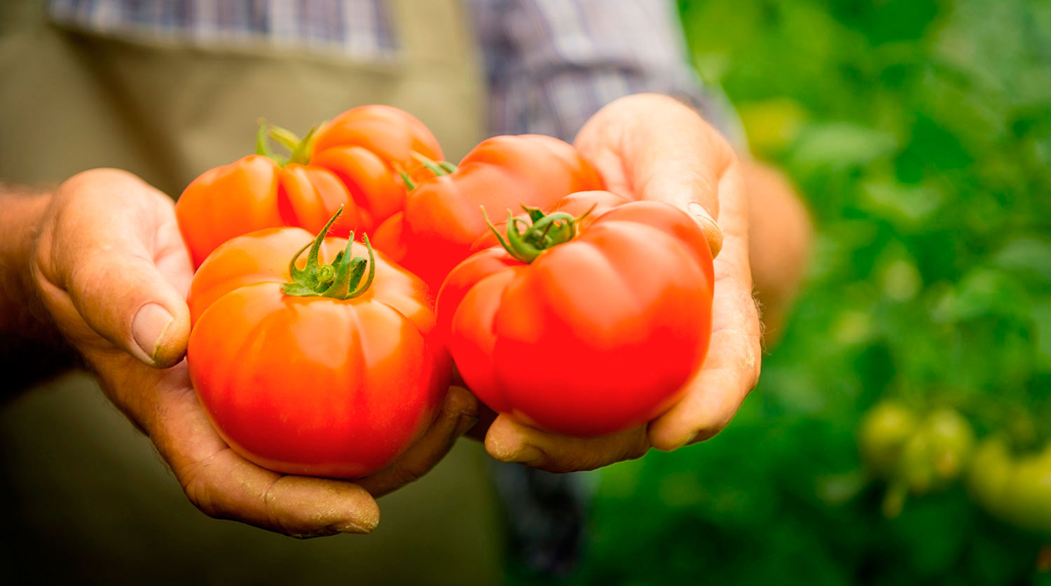 Tomatoes In The Greenhouse When To Shoot The Rules Of Harvesting Storage Photo Video