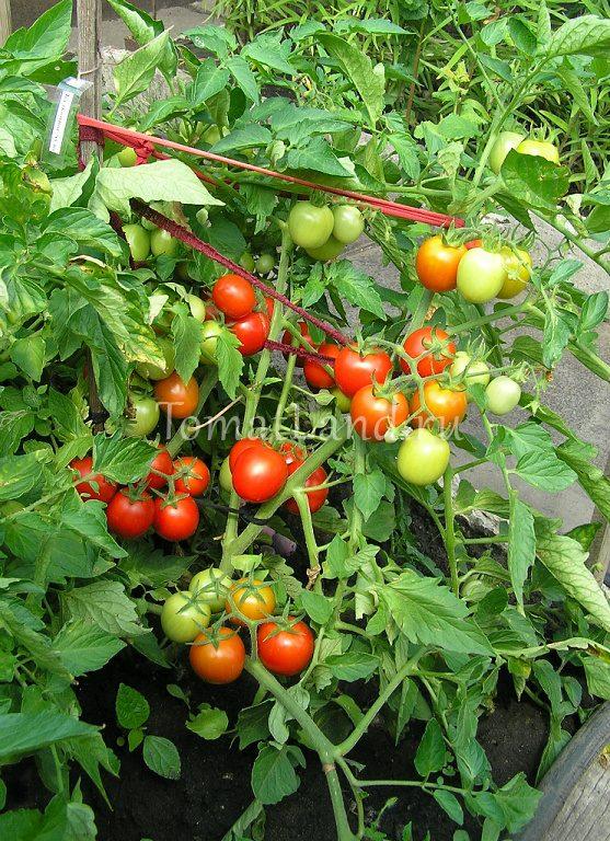 Томат Балконное чудо: отзывы, фото, урожайность, описание ...