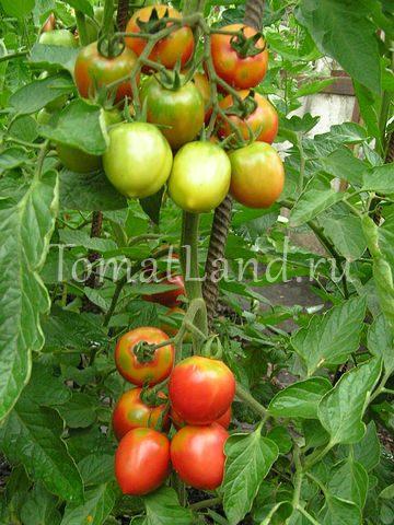 Томат Чудо Голландии: отзывы, фото, урожайность | tomatland.ru