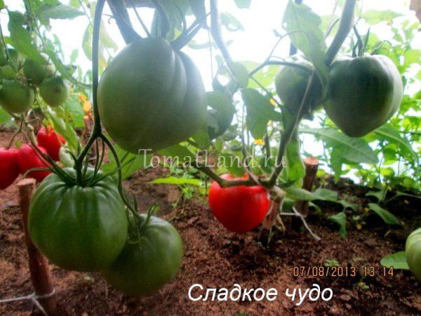 Томат Сладкое чудо: отзывы, фото, урожайность, описание и ...