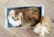 10 Best Pics of Smoothie : The World's Most Photogenic Cat You have Ever Seen Tomatoheart.com 5