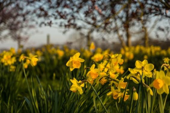 daffodills-1