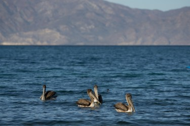 20180310-pelicans-3