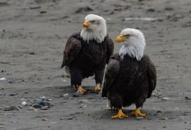 Haines, Alaska. Chilkoot River. Bald eagle preserve.Haines, Alaska. Chilkoot River. Bald eagle preserve.