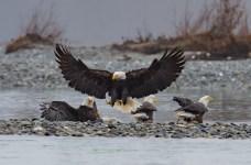 Haines, Alaska. Chilkoot River. Bald eagle preserve.