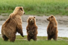 Lake Clark NP, Alaska. grizzly bears