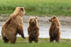Lake Clark NP, Alaska. grizzly bears