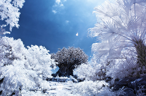 It becomes apparent that the Tree of Life at Disney's Animal Kingdom is a man-made structure in this infrared photo of it! More infrared Disney photos: https://www.disneytouristblog.com/photos-of-snow-in-disney-infrared-photography-disneyland-walt-disney-world/
