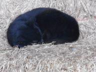 barn-cat-asleep-in-the-hay