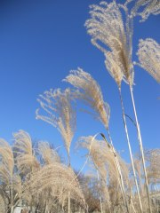 beautiful-micanthus-grasses-outside-plant-science-building-yesterday
