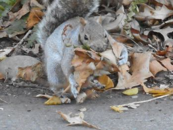 squirrel-gathering-leaves-for-its-nest
