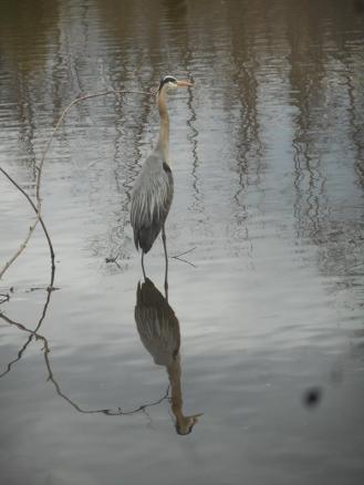 Heron at Sapsucker Woods 4-12-16