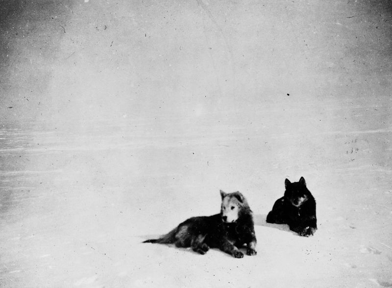 Two of Roald Amundsen's favourite dogs - Fix and Lassesin.