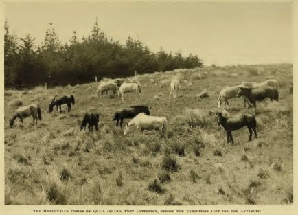 THE MANCHURIAN PONIES ON QUAIL ISLAND, PORT LYTTELTON, BEFORE THE EXPEDITION LEFT FOR THE ANTARCTIC