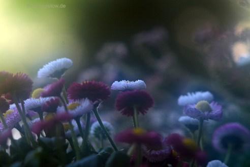 Belli - Gänseblümchen