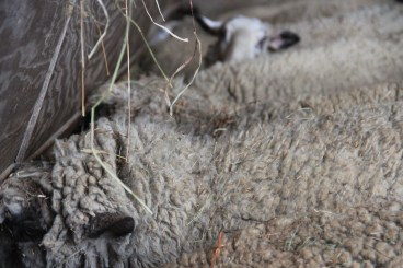 Sheep Barn