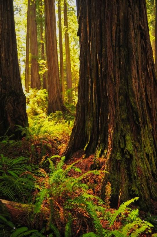Jedidiah Smith Redwoods State Park, California