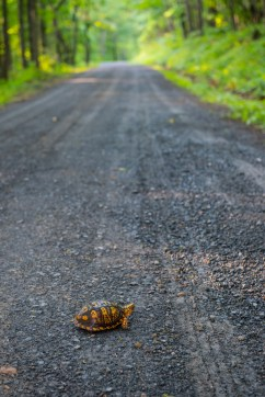 I caught this little guy climbing a road in the George Washington Naitonal Forest. It is currently turtle nesting season, so these guys are all over the place.