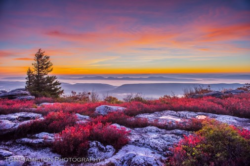 Blueberry bushes show their autumn colors at Bear Rocks