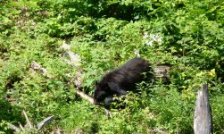 Bonus picture #1: my first ever bear sighting! In Canada, of course...
