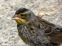 A juvenile red-winged blackbird in High Park, Toronto.