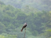 Gray kingbird looking nonplussed by the weather in Barbados (hurricane season).