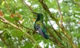 Green-throated carib hummingbird, Barbados.