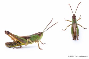 Grasshopper_spp_green