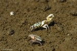 A fiddler crab celebrates his victory