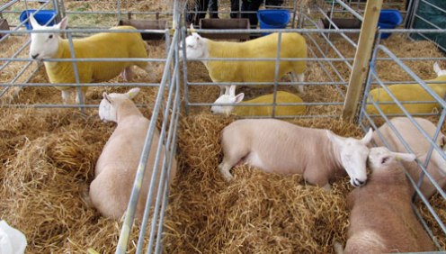 A few of the thousands of sheep exhibited.