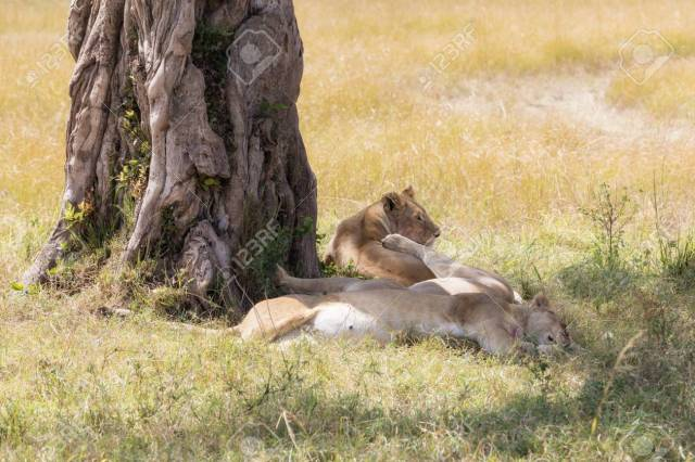 lionesses adapt to the shape of the day