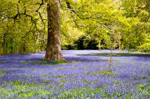 Bluebells in the woods Relaxation in Hypnotherapy