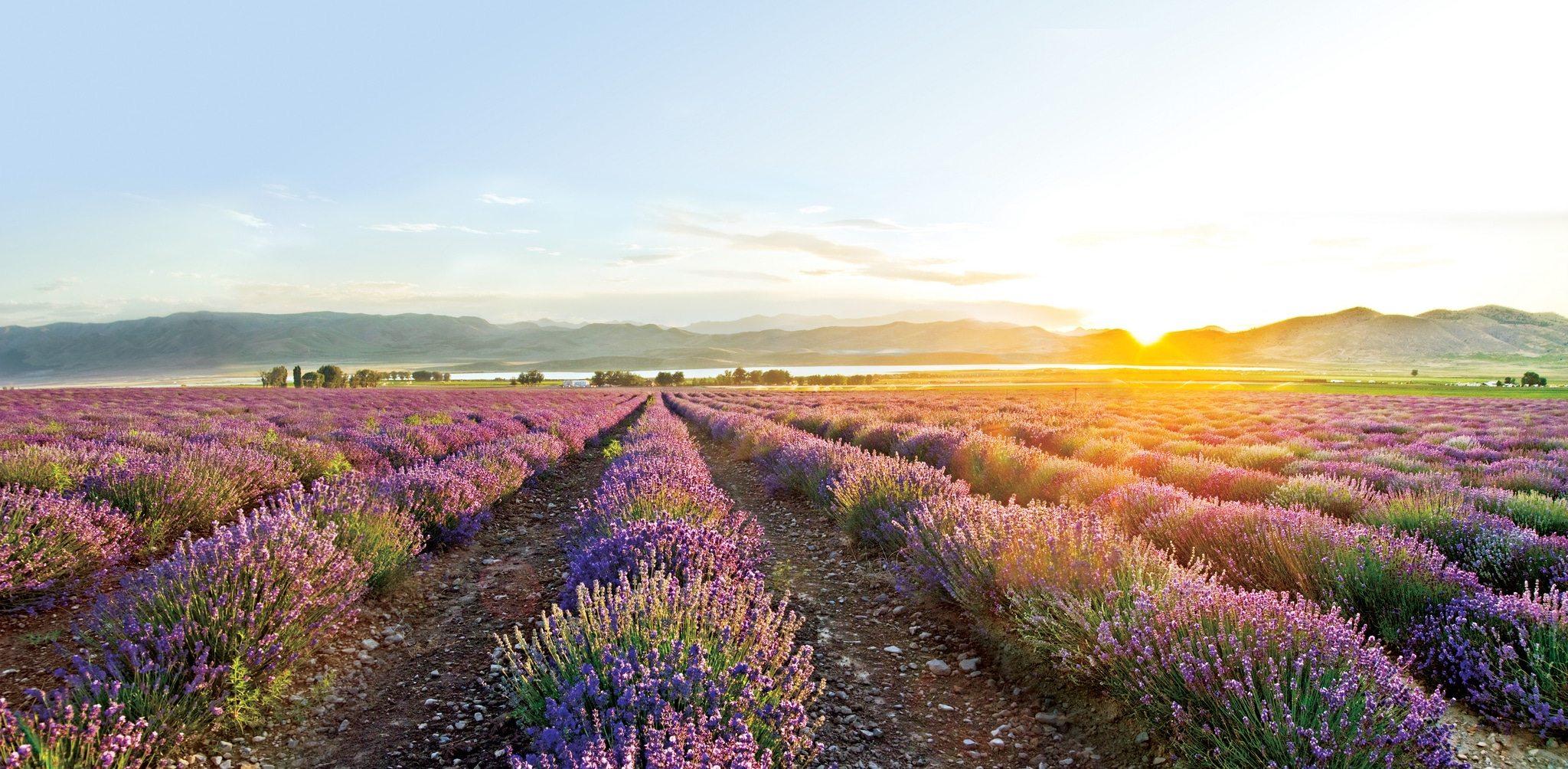 Young Living Lavender Farm Mona Utah Tom Nikkola