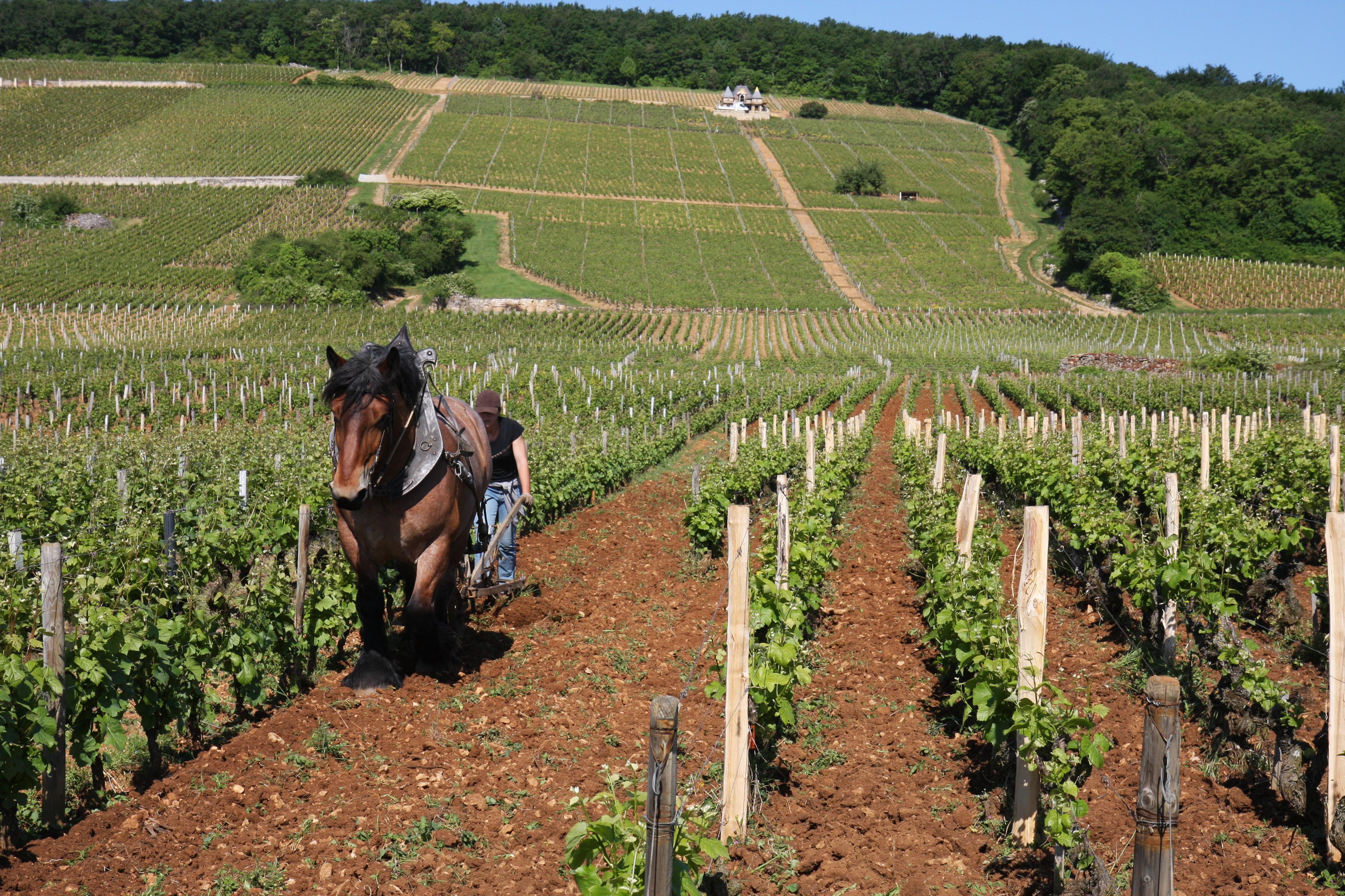 Horse plowing the vineyards in Gevrey-Chambertin