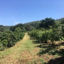 コーヒー畑②