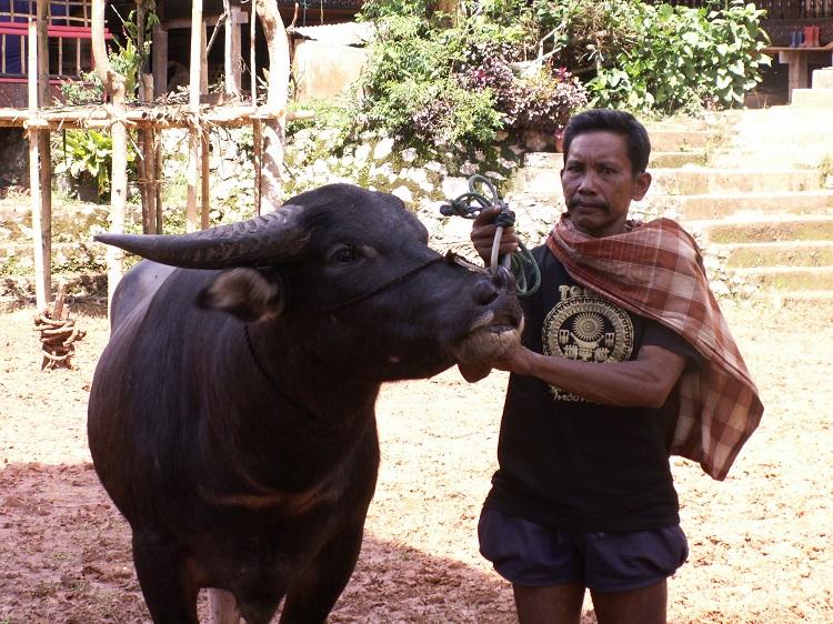 Buffalo Donated at Toraja Funeral Service