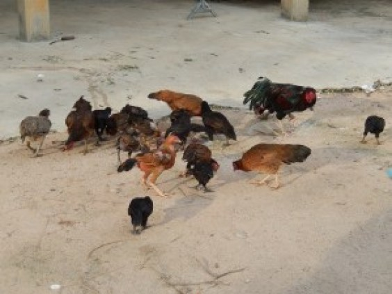 Cambodian Chickens