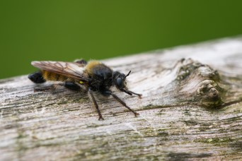 Yellow assassin fly (Laphria flava).