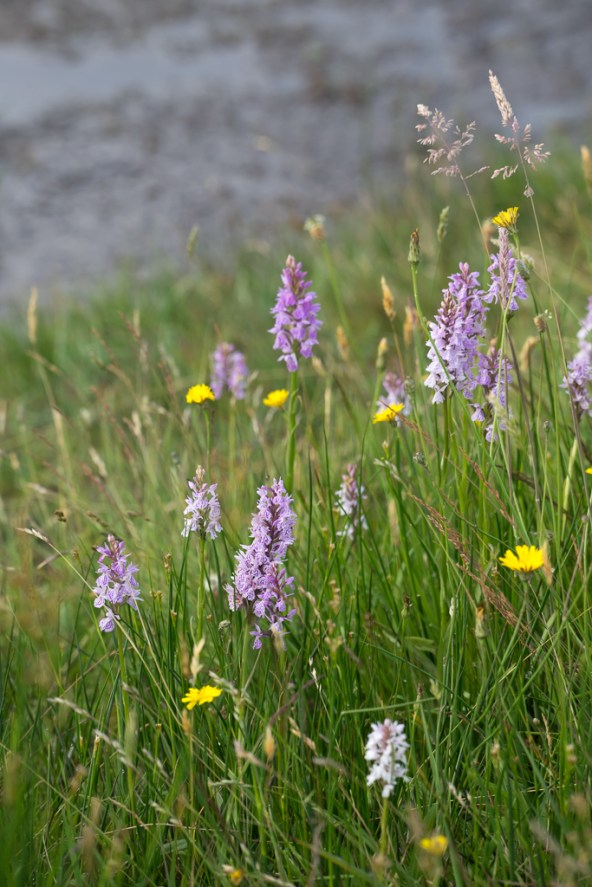 Moorland spotted orchid (Dactylorhiza maculata).